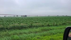 Flat Corn Courtesy John G In Meadow Creek